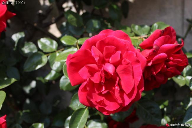 Rosa (grimpant rouge à identifier) GBPIX_photo_843177
