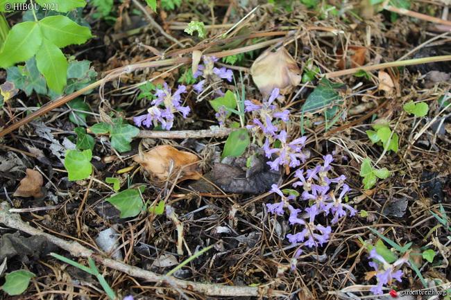 Phelipanche ramosa GBPIX_photo_843185