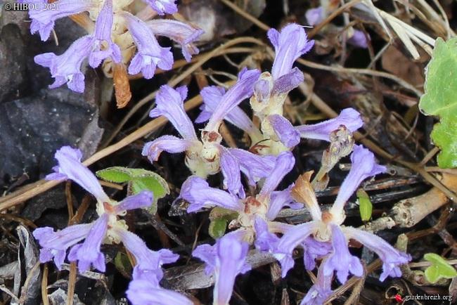 Phelipanche ramosa GBPIX_photo_843186
