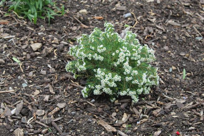 Chamelaucium uncinatum - fleur de cire - Page 2 GBPIX_photo_843187