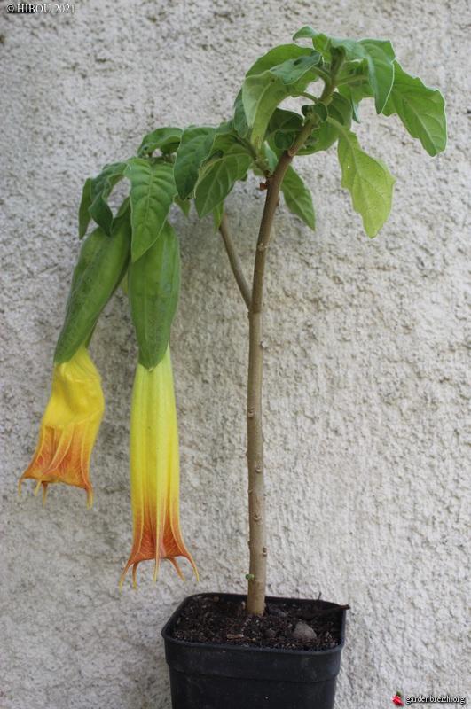 Brugmansia sanguinea - Page 5 GBPIX_photo_844467