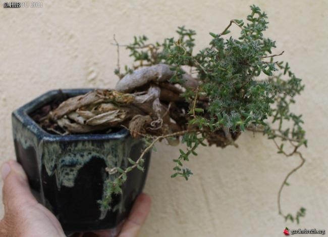 Plante en bonsaï à identifier GBPIX_photo_845588
