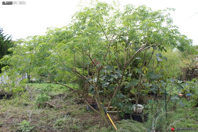 Manihot esculenta et carthaginensis (= grahamii) - Page 5 GBPIX_photo_846270