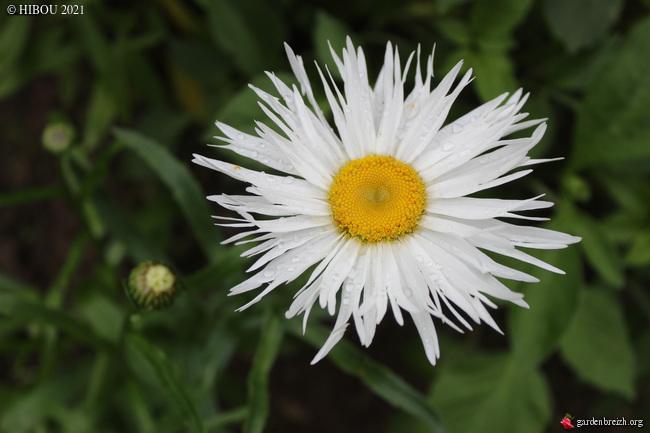 Leucanthemum x superbum - [identification] GBPIX_photo_846832
