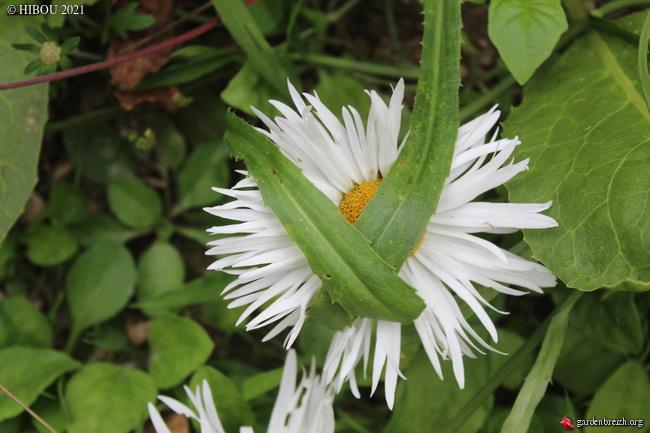 Leucanthemum x superbum - [identification] GBPIX_photo_847714