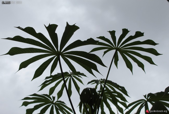 Manihot esculenta et carthaginensis (= grahamii) - Page 5 GBPIX_photo_847740