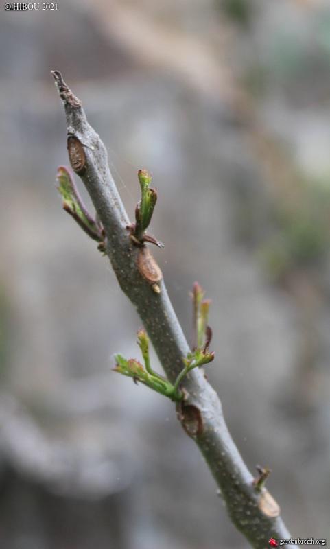 Jacaranda mimosifolia - Page 4 GBPIX_photo_848665