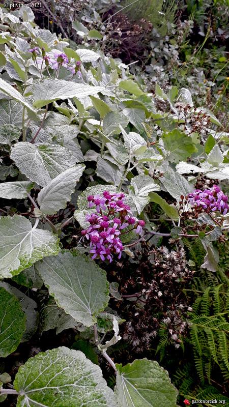 Pericallis lanata (= Cineraria aurita) - péricallis laineux GBPIX_photo_852240
