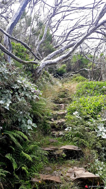 Pericallis lanata (= Cineraria aurita) - péricallis laineux GBPIX_photo_852241