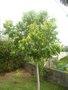 La culture du litchi/lichies/litchee, la germination et l'entretien du litchi GBPIX_vignette_247109