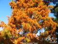 vignette de Taxodium ascendens ' Nutans ' Cyprès de Virginie