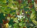 La culture du litchi/lichies/litchee, la germination et l'entretien du litchi GBPIX_vignette_293113