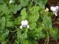 Les violettes africaines / violettes du cap(Saint Paulia). Entretien, espèces, des photos. GBPIX_vignette_303014