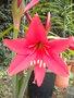 Amaryllis (hippeastrum) -culture, entretien, floraison - Page 2 GBPIX_vignette_424489