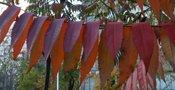 Rhus Typhina-Sumac de Virginie GBPIX_vignette_434594