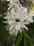 Le caféier  (Coffea arabica)-comme plante d'intérieur  Le caféier GBPIX_vignette_434753