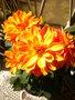 Les dahlias. Photos et disscusions. GBPIX_vignette_475459