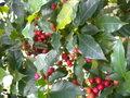 Le caféier  (Coffea arabica)-comme plante d'intérieur  Le caféier GBPIX_vignette_476346