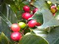 Le caféier  (Coffea arabica)-comme plante d'intérieur  Le caféier GBPIX_vignette_476347
