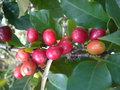 Le caféier  (Coffea arabica)-comme plante d'intérieur  Le caféier GBPIX_vignette_476348
