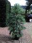 Wollemi Pine en voie d'extinction! GBPIX_vignette_485373