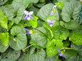Les violettes africaines / violettes du cap(Saint Paulia). Entretien, espèces, des photos. GBPIX_vignette_487851