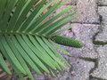 Wollemi Pine en voie d'extinction! GBPIX_vignette_542861