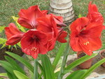 Amaryllis (hippeastrum) -culture, entretien, floraison - Page 2 GBPIX_vignette_82112