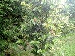 Le caféier  (Coffea arabica)-comme plante d'intérieur  Le caféier GBPIX_vignette_87797