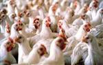 """طوارىء بمديرية الطب البيطري في الغربية تحسبا لظهور بؤر لـ """"أنفلونزا الطيور"""" 2012-634729683571382248-138_main_thumb150x95"""