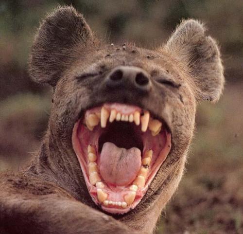 Série Manimal - En quel animal aimeriez vous, vous transformez ? Hyene-1257455213