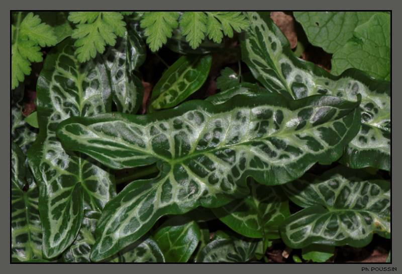 [Arum Maculata] Araceae04