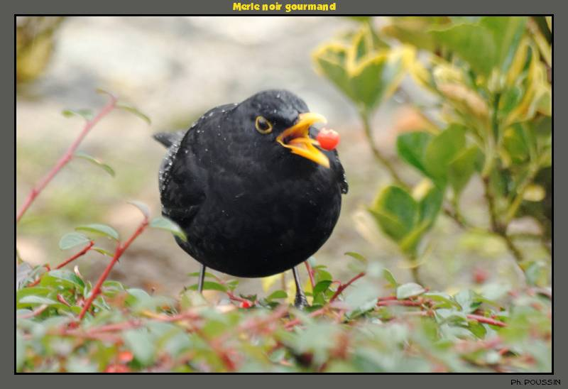 Merle noire (Turdus merula) Merle02