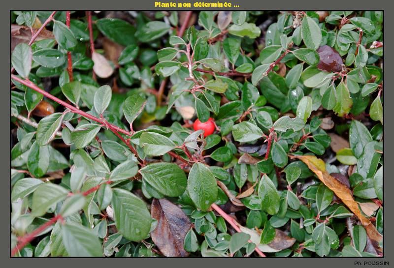 Plante à baies rouges  [Cotoneaster dammeri] Plante01