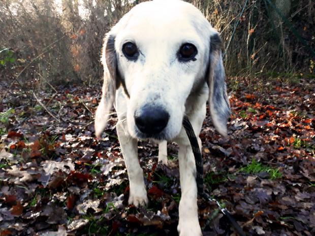 JOLI COEUR - beagle 14 ans - Fondation Bardot  Jolicoeurresizecalincanin_1568914668