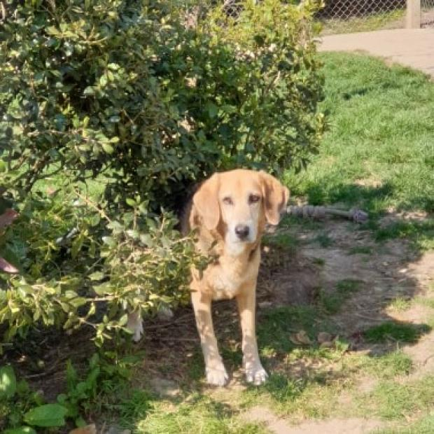 DIABOLO - beagle 12 ans - Fondation Bardot  PEUREUSE_1586700494