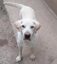 DARYL - labrador retriever blanc13 ans - Fondation Bardot M_DarylresizeMareAuzou_1549705874
