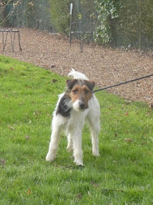 OPPIE - fox terrier 2 ans - Fondation Bardot Oppie_1_1580227535