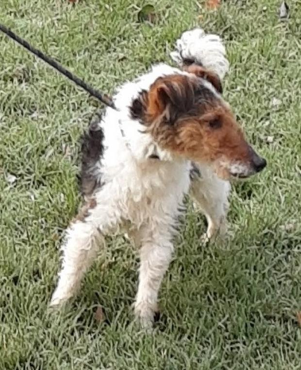 TIGg - fox terrier 3 ans - Fondation Bardot Tig_2_1580227732