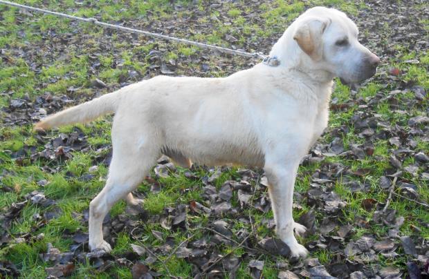 DARYL - labrador retriever blanc13 ans - Fondation Bardot Darly__resize_1549706696