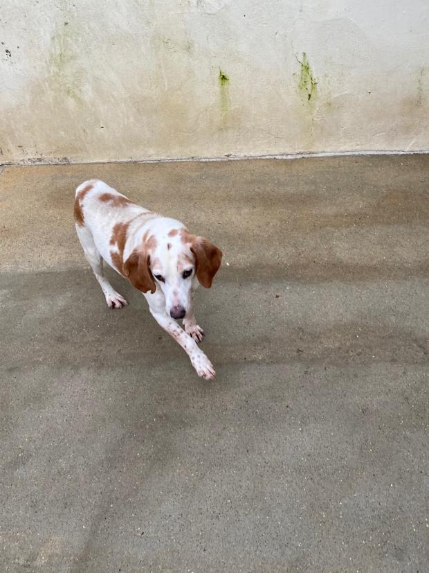 TITI alias TIBOU - beagle 13 ans - Fondation Bardot IMG2265_1610026062