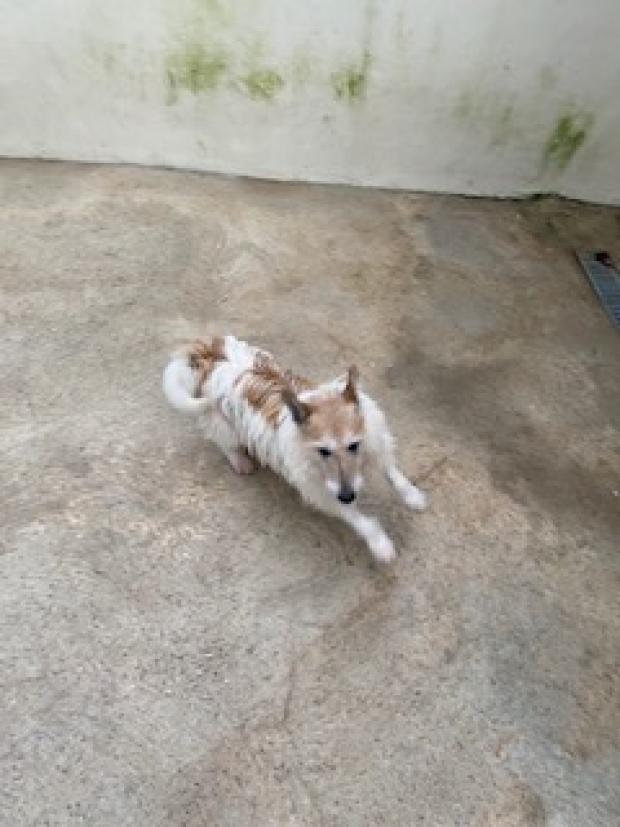 JAIPUR - fox terrier 9 ans - Fondation Bardot JAIPUR_1610021187