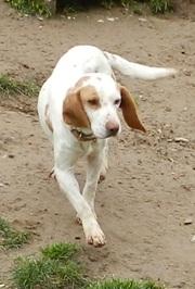 SHEPA et RITA - x beagle 14 ans (9 ans de refuge)  Spa du Cantal à Arpajon sur Cere (15) Vign_Shepa_1_ws1038682206