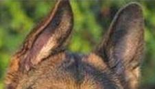 Уши у щенка.Как поставить уши щенку Dog_defOhr10