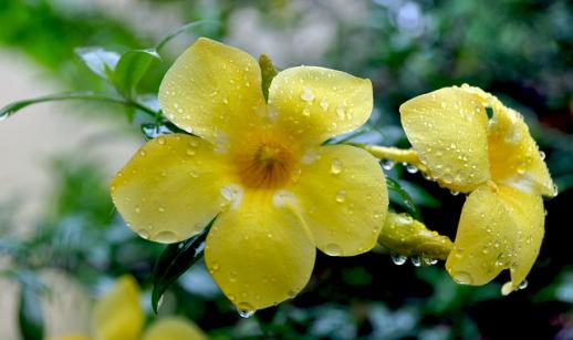 la fleur de Martin du 13 juin trouvée par Martine - Page 2 Alamanda-518x307