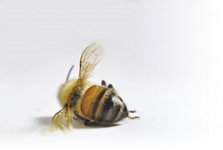 Humeur de l'instant... en ce que vous voulez - Page 17 Dead-bee-fade-450x302