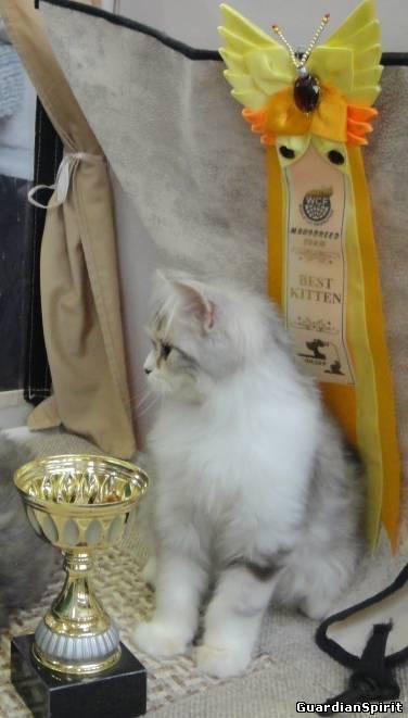 Котята Скоттиш-Фолд и Страйт ПДШ 893127402