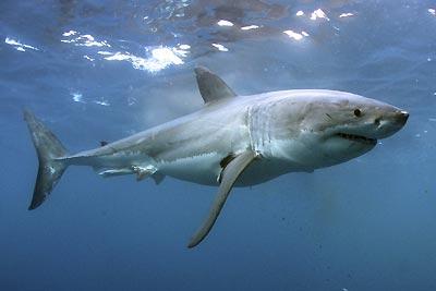 Olimpiadas: Los Juegos Forísticos 20080512221946-tiburon-blanco