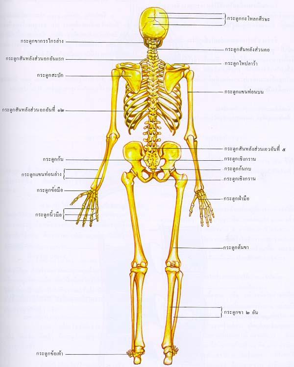 ระบบโครงร่างมนุษย์ 1395b8p51