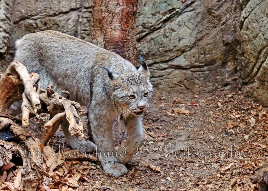 Lynx Dsc_5814-1024-s_FULL
